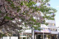 宿泊ホテル前の桜
